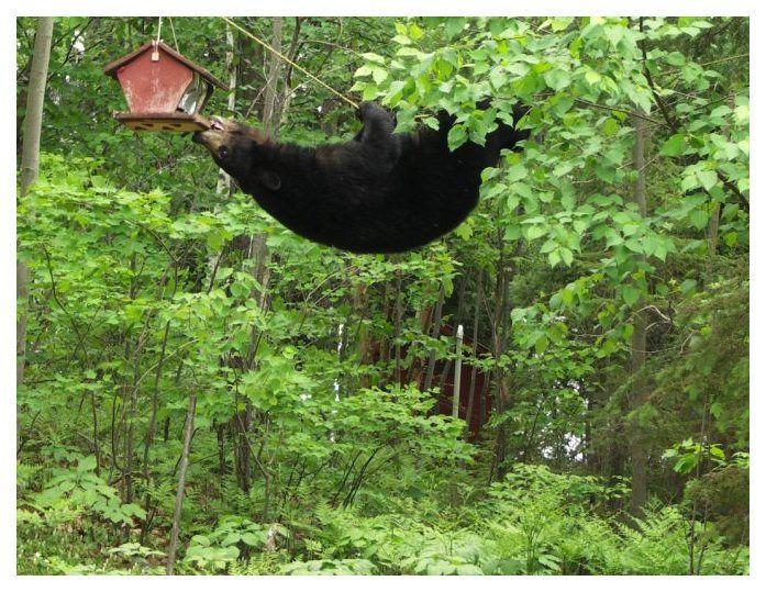 blackbear and bird feeders